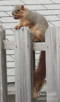 Squirrel on our fence