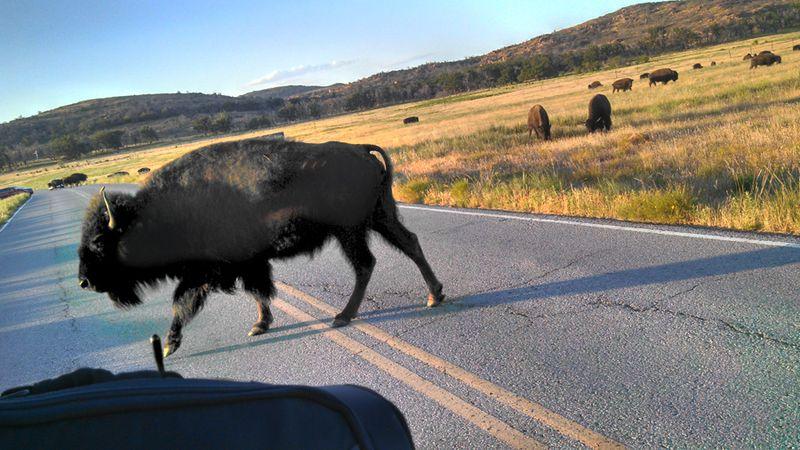 Buffalo on the Hoka Hey ride 2013