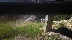 Billy goat  on the Hoka hey ride 2013