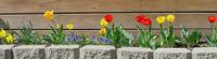 My_new_tulips